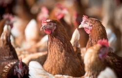 Abate de frangos cresce no país no primeiro trimestre