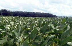 Marcelândia: A colheita da soja terá o seu inicio a partir do dia 20 de janeiro