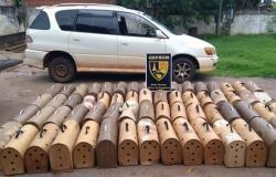 Mais de 60 galos indianos que seriam levados para rinhas na Bolívia são apreendidos em táxis e homem é preso em MT