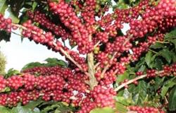 Produção de café aumenta 13,9% em MT após investimentos em lavouras, segundo Conab