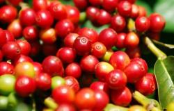 Porta-enxerto de café resistente a nematoides está em fase final da pesquisa