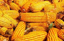 IMEA aponta que milho teve novo recorde de preço em Mato Grosso
