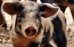 China confirma novos casos de peste suína africana