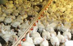 Holanda mata 215 mil galinhas após casos de gripe aviária