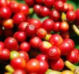 MT investirá R$ 5 milhões em programa para alavancar cultivo do café