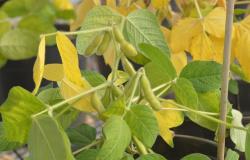 Estiagem pode ter apodrecido vagens de soja em Mato Grosso