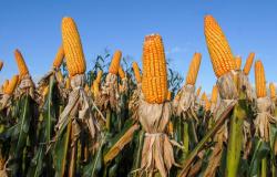 China vai comprar mais e milho deve chegar a R$ 95 em Maio