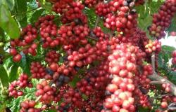 Maio teve alta disparada nos preços do café arábica