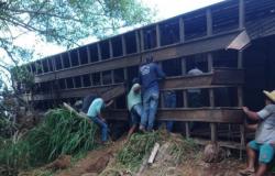 Carreta carregada com 85 cabeças de gado tomba após sofrer pane, na RO-489 em São Felipe; 75 garrotes morreram
