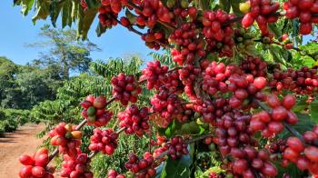 Região Matas de Rondônia para Robustas Amazônicos é reconhecida como a primeira Indicação Geográfica, do tipo Denominação de Origem, de café canéfora sustentável do mundo. / Foto: Renata Silva