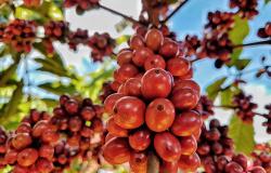 Produção de café em nível mundial atinge 169,50 milhões de sacas, sendo que a espécie arábica corresponde a 58% e a espécie robusta a 42%