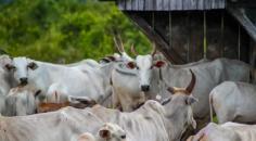 Idaron e serviço veterinário da Bolívia fiscalizam fronteira para garantir sanidade do rebanho de Rondônia
