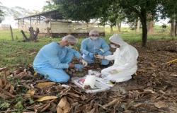 Governo declara emergência fitossanitária em RO devido a monilíase do cacaueiro