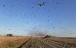 Nuvem de gafanhotos está a 130 km do Brasil e do Uruguai, diz governo da Argentina
