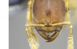 Pesquisa usa Google para entender impacto climático sobre as formigas