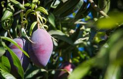 Participantes do Agro.BR conhecem benefícios da certificação para a exportação de frutas