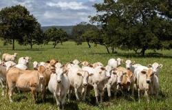 Raça Araguaia: produtor membro da ?Liga do Araguaia? adota a agro sustentabilidade como modelo de produção
