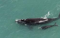 Baleia-francanascida no Brasil é vistanasIlhasGeórgia do Sul