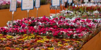 Dia das mães: data é a mais importante para o setor de flores