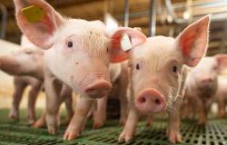 Vacinação contra peste suína clássica em Alagoas começa no dia 17