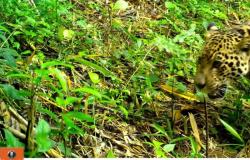 Mãe e filhote de onça-pintada são vistos da Serra do Mar paranaense