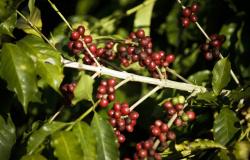 Comissão Técnica de Café debate caminhos para fortalecer a cultura no Paraná