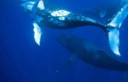 O encalhe de baleias jubarte registrado no Brasil no primeiro semestre