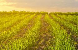 UFPR lança novas cultivares de cana-de-açúcar