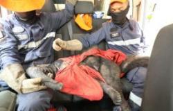 Agentes da Defesa Civil resgatam tamanduá-bandeira gravemente ferido em decorrência de queimadas