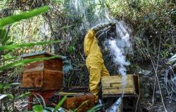 Fipronil é apontado como causa da morte de milhares de abelhas na Colômbia