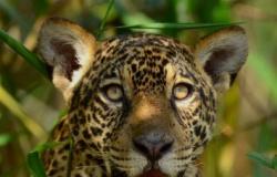 """Onças são vistas mais """"à vontade"""" no Pantanal"""