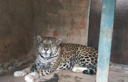 Onça resgatada com 4 patas queimadas é volta ao seu habitat, o Pantanal de MT