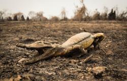 Fotos de animais atingidos pelos incêndios no Pantanal de MT são expostas em evento