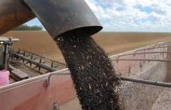 Povo Paresi colhe produção experimental de soja preta, variedade desenvolvida pela Embrapa