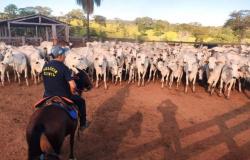 Polícia prende ladrão de gado e recupera 58 cabeças furtadas em MT