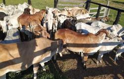 Ação integrada da polícia recupera 95 cabeças de gado furtadas em Alto Paraguai
