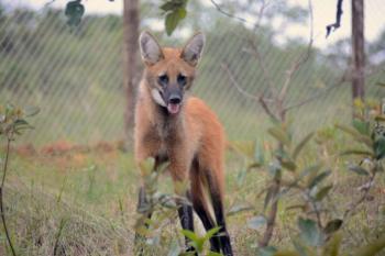 Na nota de R$ 200: quase 60% dos lobos-guará ainda vivos estão no Cerrado