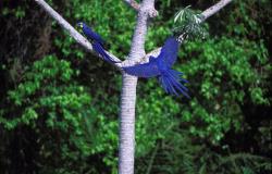 Queimadas no Pantanal ameaçam santuário das araras azuis