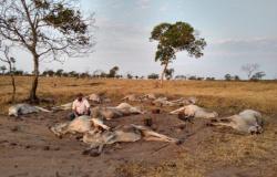 Pecuaristas da região oeste de MT amargaram prejuízos com morte de dezenas de cabeças de gado em razão do frio