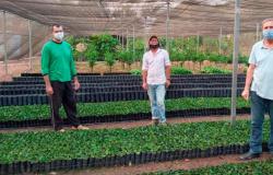 Governo vai distribuir 310 mil mudas de café para agricultores em Mato Grosso