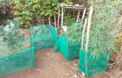 Durante sobrevoo, polícia localiza plantação de maconha em MT