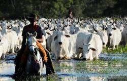 Mais gado que gente: MT sozinho tem quase 15% do rebanho nacional