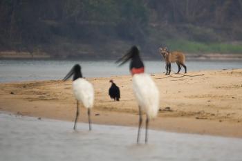 Lobo-guará é fotografado em praia no Pantanal Norte — Foto: Ricardo Casarin