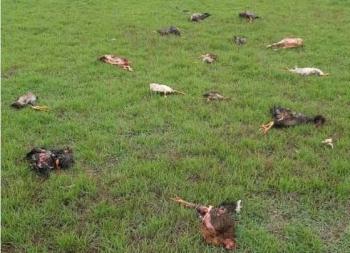 Rottweiler pula muro de chácara e promove matança de mais de 50 galinhas, pintainhos e frangos!