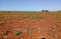 Soja: sem chuvas consistentes, Mato Grosso tem replantio e já prevê perdas