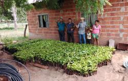Agricultores familiares da região Médio-Norte recebem 20 mil mudas de café clonal