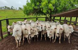 Gado furtado de fazenda em Nova Brasilândia é localizado em propriedade em Santo Afonso