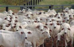 Mato Grosso vacina 99,67% do rebanho de bovinos e bubalinos contra febre aftosa