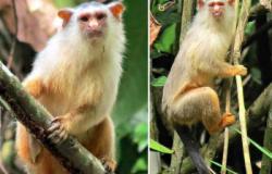 Cientistas encontram nova espécie de macaco brasileiro em região de Mato Grosso