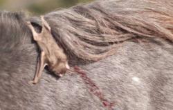 Cavalo morre infectado por raiva em MT; suspeita é transmissão por morcego